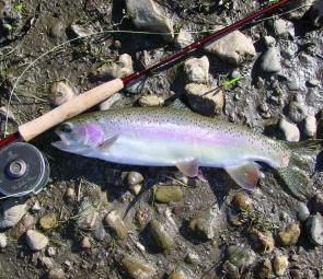 A fresh run rainbow taken out of the Mitta Mitta River. This fish fell to a bead head nymph.