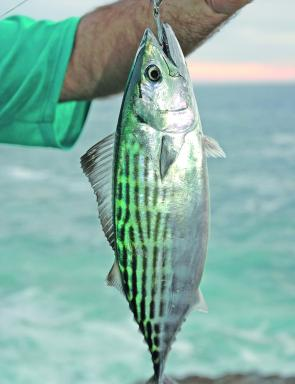The Watson's leaping bonito is among the lower orders of the many hungry pelagics available along the coast right now.