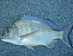 As the bream move out of the estuary they tend to hold up on the oyster leases and if you find the right lease, there is plenty of lure and bait fishing to be had.