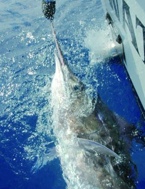 During the Hervey Bay Game Fishing Tournament, the team on the Watch Tower caught this impressive blue marlin. After a long struggle the fish had tail wrapped itself in the line, so Dion White jumped in the water to untangle the monster. The crew t
