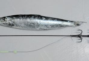 Remove the lumo bead and tube off the shaft so you can put on your bait. Ideally you want a pilchard that's shorter than the shaft, however you can trim the tail off the pilchard if it's too long.