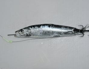 Starting from the tail end, insert the shaft up the centre of the pilchard and out the mouth. I prefer to rig the skewer with the pilchard head at the top and the tail near the spikes, because squid usually grab the pilchard from behind. This presentation