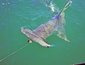 With increasing numbers of tuna there should be plenty of sharks following them.