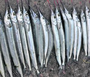 Garfish have been in huge numbers along the western flank of the bay this winter.