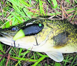 On top of being a great casting lure, the new Insanity Tackle Slap Walkers are a great trolling lure as well. Three tow points allow an angler to adjust their running depth without having to change lures.
