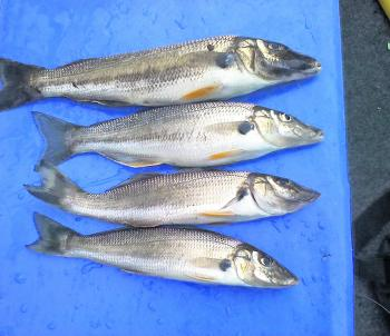 Some land-based whiting caught by Bob Dean in the Georges River.