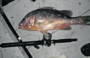 There have been plenty of quality golden snapper on the chew along the coast.