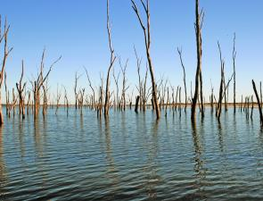 Coolmunda Dam has risen and the water is well up into the dead trees. This area has been producing some good catches of golden perch.