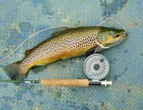 The author caught this nice 2.2kg brown trout at Lake Wartook by flyfishing while drifting along the shoreline.