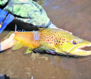 Releasing another trophy sized trout to breed, grow bigger, and be there for some other lucky angler to catch.