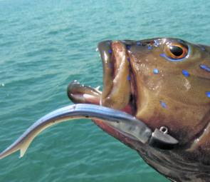 Coral trout move right up into the shallows during the cooler months and respond well to soft plastics especially flick baits and jerk shads.