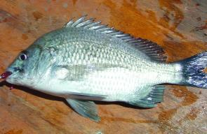 Bream have been all over plastics fished close to structure.