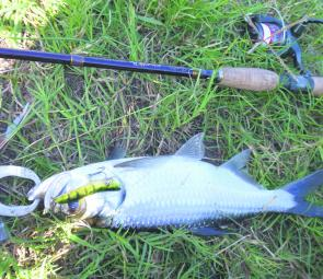 Healthy fighting tarpon indicate the fishing this year will be great for freshwater species around Rockhampton.