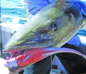 The business end of a hungry cobia.