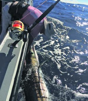 Dave unhooking an offshore striped. Their presence is a sure sign the water is starting to cool.