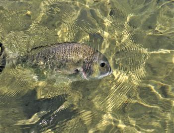 Bream will search the shallows for prawns.