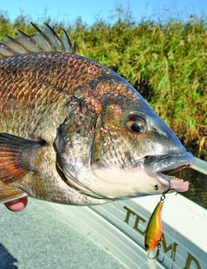 Good sized bream are being taken from the Curdies on hardbodied lures.