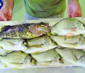Head to Jumpinpin in July for a top feed of bream.