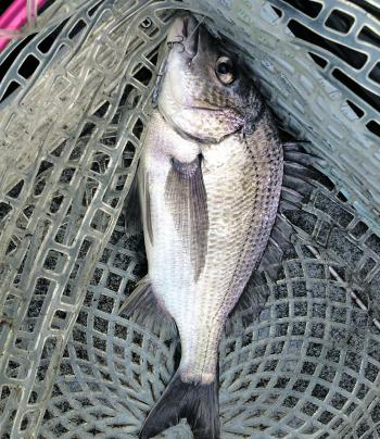 Big black bream are about and catching them isn't easy.