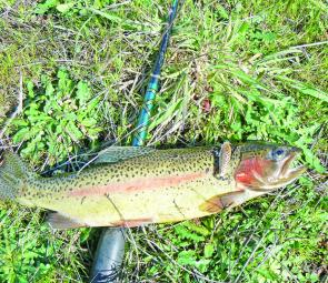 An average Lake Bellfield rainbow trout the author caught recently by casting lures from the shore.