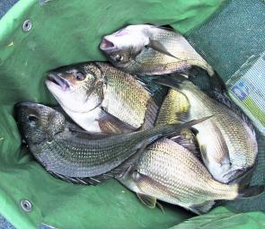 A nice bag of summer Curdies bream taken by the author prior to release.