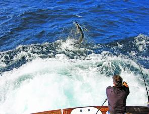 It's the start of what Port Stephens is famous for – marlin season.