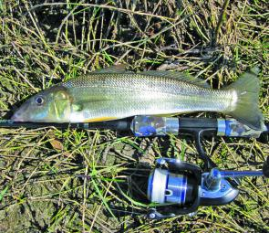 This late season Lake Cathie whiting couldn't resist a Bassday Sugapen.