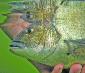 Bream are back on the chew now with bait and lure anglers finding plenty.