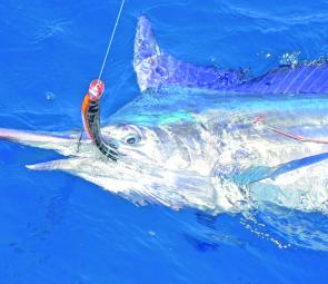 With the blue water came the game fish. This feisty black marlin took a Tropic Angler skirted lure.