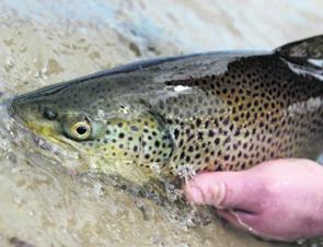 Good trout are certainly on the agenda in the many metro lakes.
