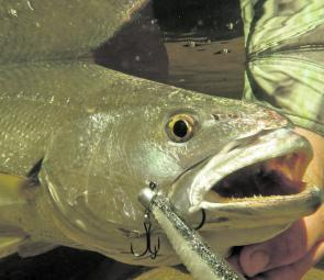 Mulloway have a particularly keen sense of hearing.