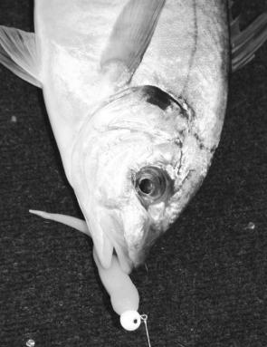 Silver trevally should stay on the hit list until the harbour water gets warm close to Christmas.