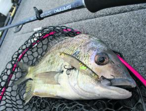 Surface lure-crunching bream will be common in coming months.