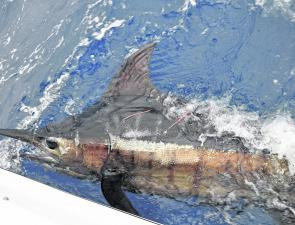 Chunky blue marlin are the Coffs Harbour billfish angler's major prize, and a lot of hours and sea miles are expended on each hook-up.