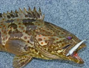 Estuary cod become active over Summer – handle them with care and let them go, they're protected in NSW.