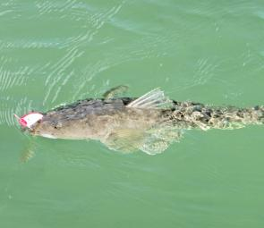 A flathead caught on a popper in 10cm of water – strange but true.