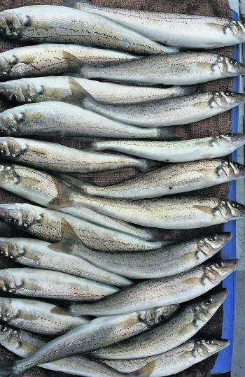 A good haul of whiting from Port Albert – the whiting fishing has been sensational and anglers have been catching limits with no problem, as long as there's a good run in the tide.
