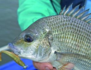 Bream tend to head up-river or well into lake systems in warm weather, often residing in smaller feeder creeks and weed-lined bays.