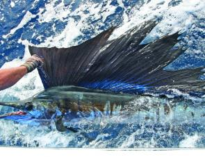 Sailfish have been caught along the front of Moreton. (photo by Kellie Jensen)