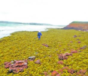 Aftermath of big seas: Rob Marich had to trudge through a couple of hundred metres of dislodged kelp to get to his spot.