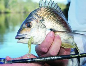 "This bream ate an Atomic Guzzlerz 2"" Prong rigged unweighted on a worm hook."