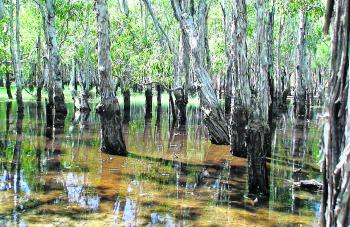 A melaleauca swamp inland of Merkunga Creek, a tributary of the Watson River.