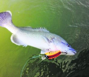 A trout cod on an Oargee Lure taken near Mathoura that was released shortly afterwards.
