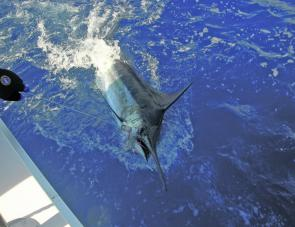 May is a great month to chase blue marlin. These fish average about 150kg off the Gold Coast and quite a few are considerably bigger.