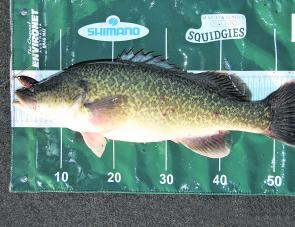One Murray cod this size per day, within the slot limit of 50-70cm, could be harvested from Victorian rivers if proposed changes are introduced.
