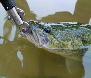 Recreational anglers are set to have a greater role in planning for the future of Murray cod.
