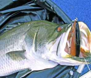 You can see how this barramundi has tried to eat this Rapala X-Rap head-first like they do when engulfing real fish.