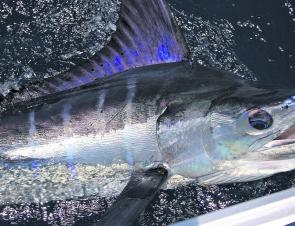 This great marlin was a big hit on the Twelve Mile Reef.