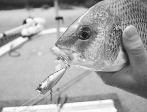 Bream just love poppers with a lot more anglers now targeting them on surface presentations.