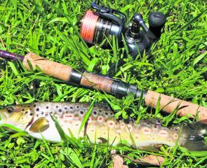 A typical Dorrigo Plateau brown trout caught on a Jackall Chubby and spin gear.